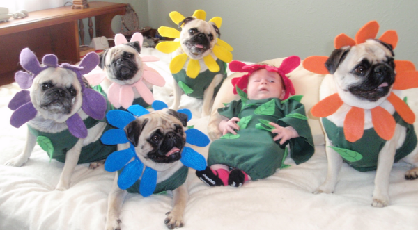 pugs-are-happy