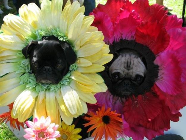 pugs-flowers