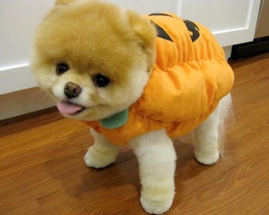 pumpkin-pomeranian-halloween-costume