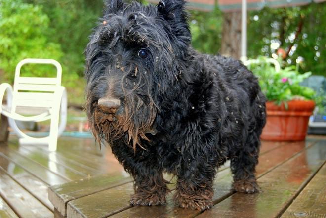 scottie-dog-in-mud
