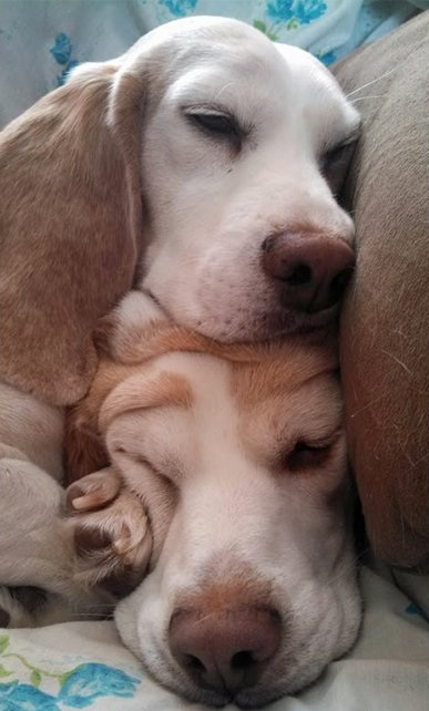 sleeping-tower-of-beagles