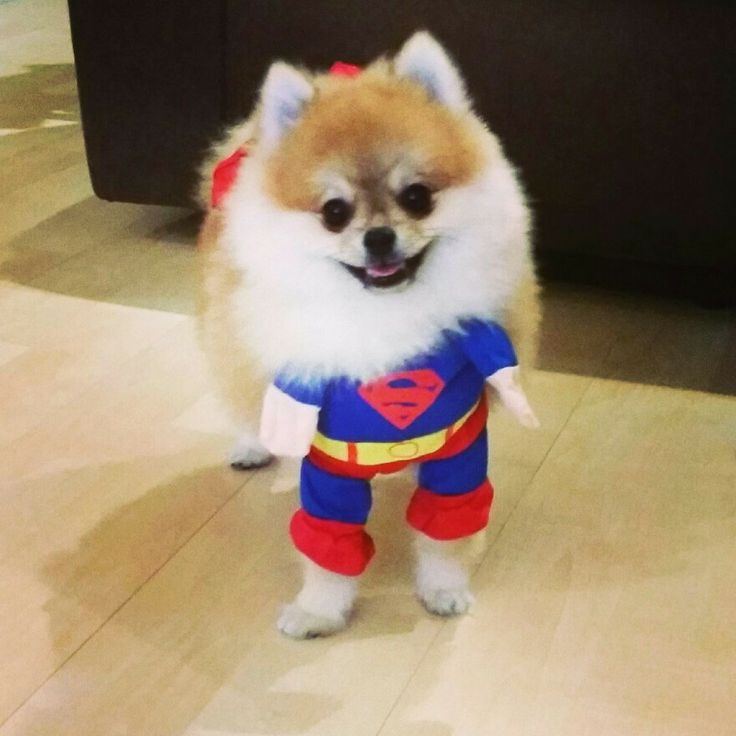 superman-pomeranian-halloween-costume