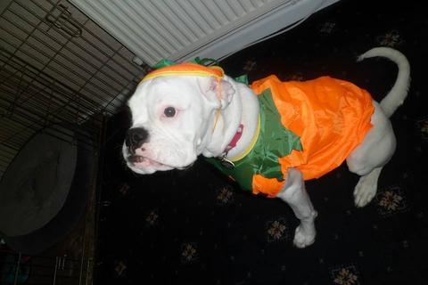 white-boxer-pumpkin