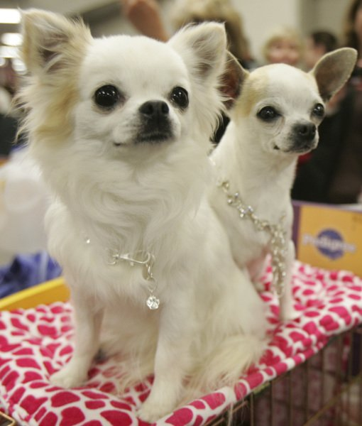 white-chihuahua-dogs