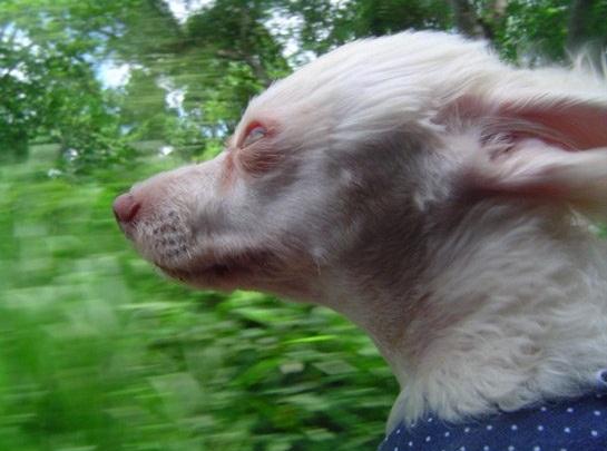 windy-dog-face-car