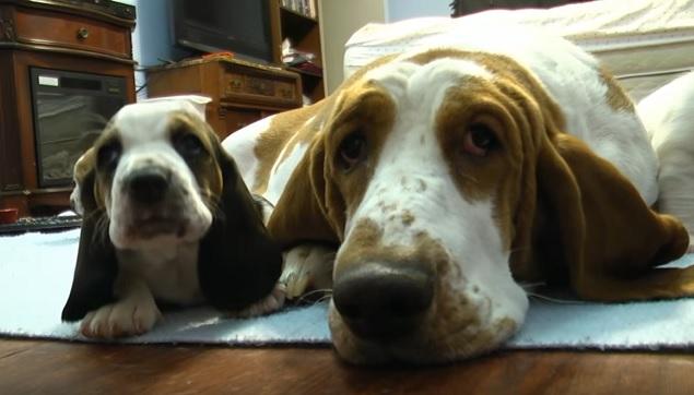 basset-hound-dog-puppy
