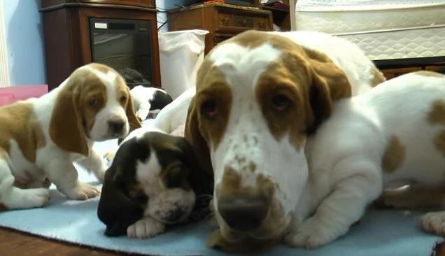 basset-hound-family