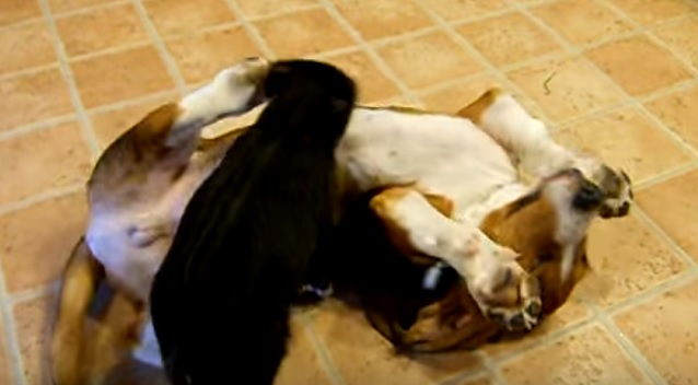 basset-hound-pig-playing
