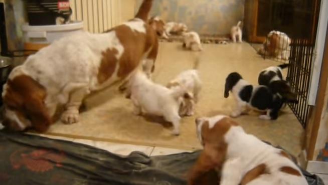 basset-hound-puppies-family