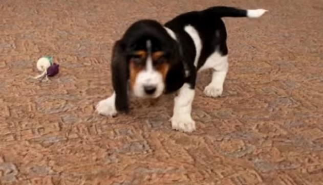 basset-hound-puppy-playing