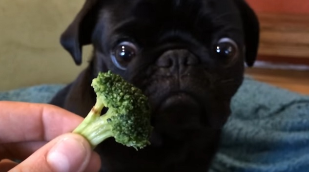 black-pug-brocolli