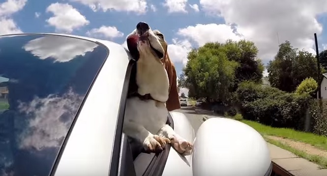 car-ride-basset-hound