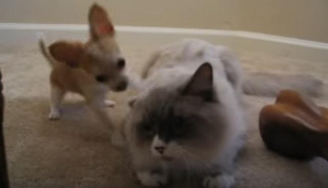 chihuahua-cat-dog-playing