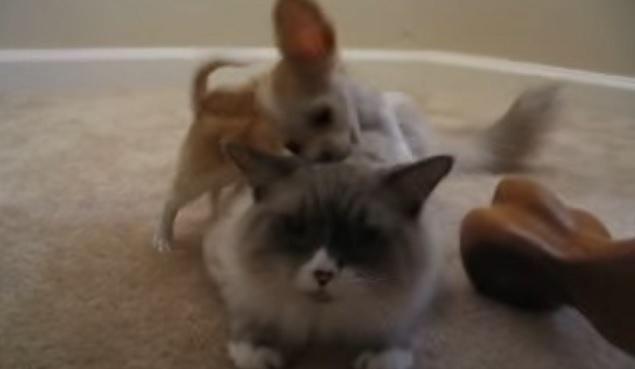 chihuahua-dog-cat-funny-play