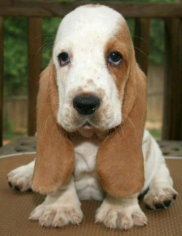 20 Most Popular BuzzSharer Basset Hound Pics