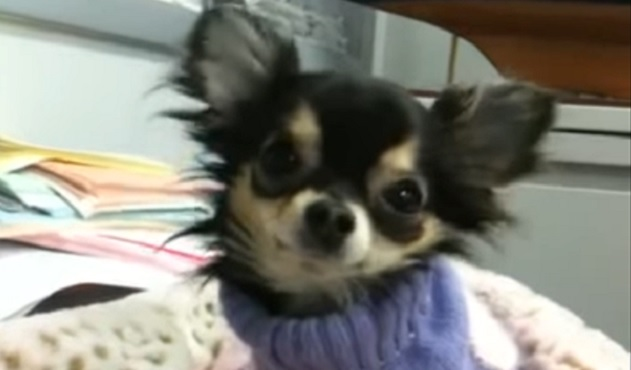 cute-chihuahua-pics-face