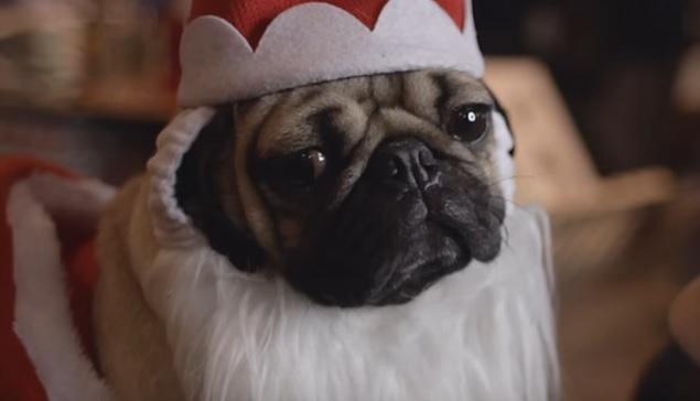 cute-face-pug-pup