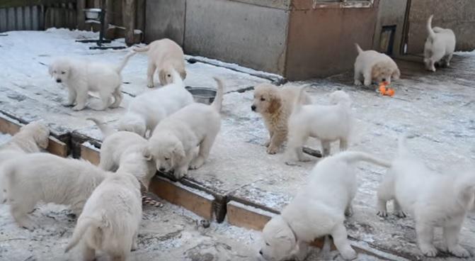 cute-golden-retrievers-pups-dogs