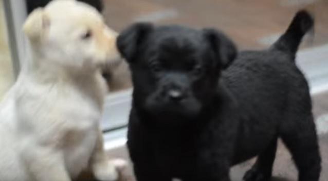 cute-labrador-pups-playing