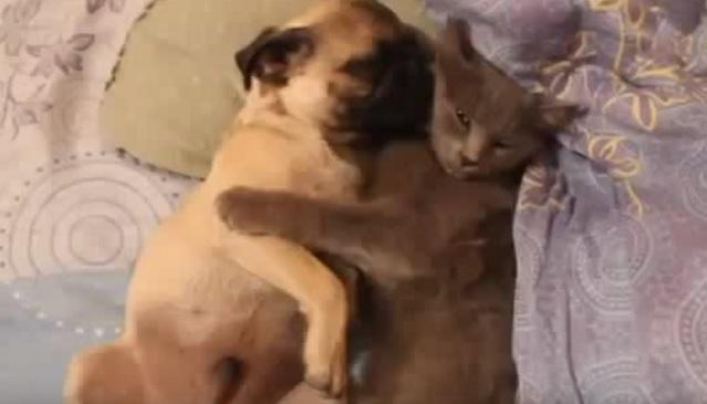 cute-pug-cat-sleep-snoring