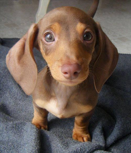 cute-pup-dachshund-pics