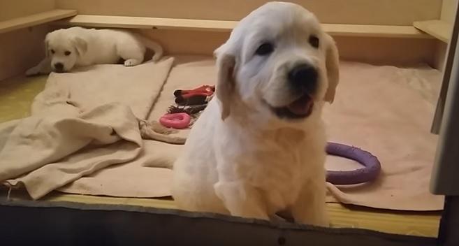 cute-puppies-golden-retrievers