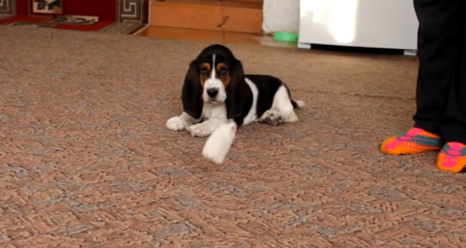 cute-puppy-basset-hound