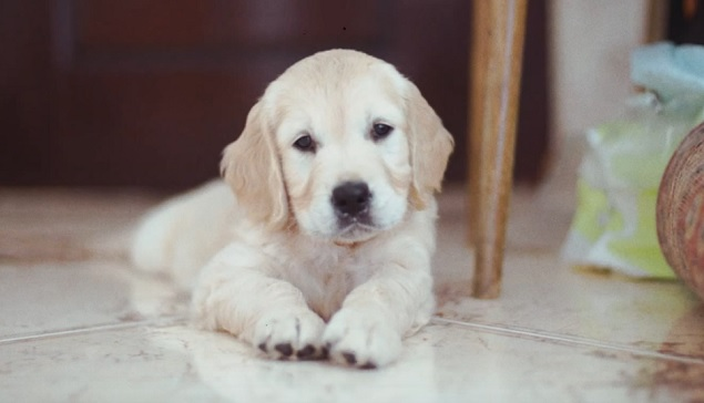cute-puppy-golden-retriever-puppy