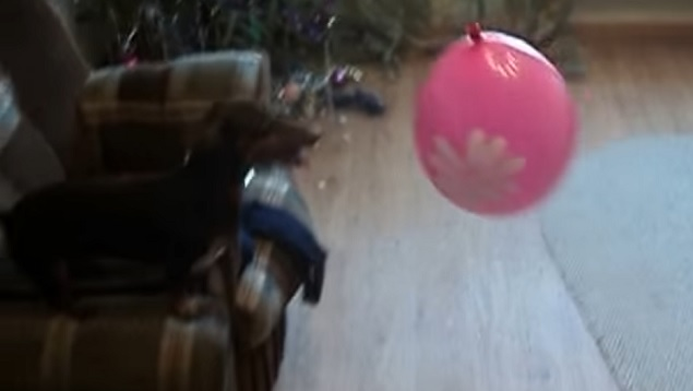 dachshund-balloon-funny-play