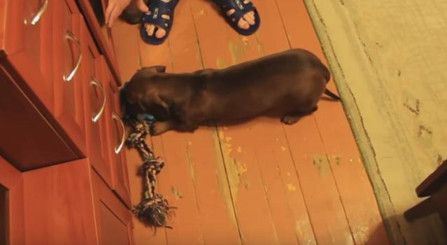 dachshund-guards-toys-dog