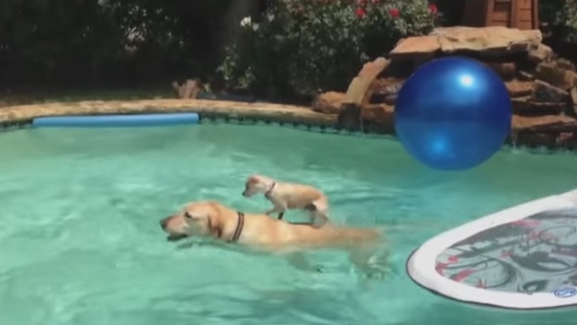 dog-surf-little-swimming-pool