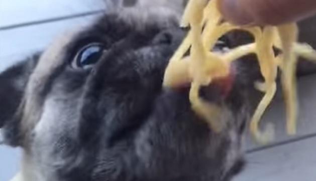 eating-pug-dog