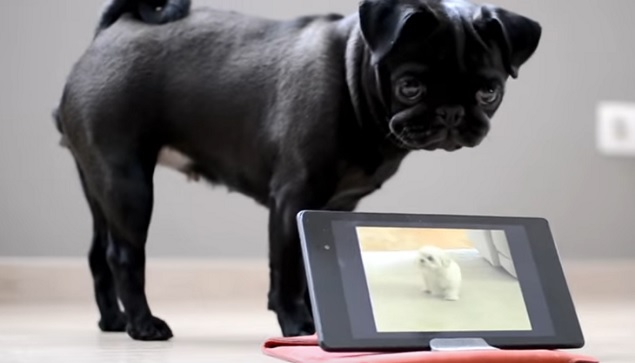 Modern Technology Makes a Perplexed Pug React in Adorable Ways