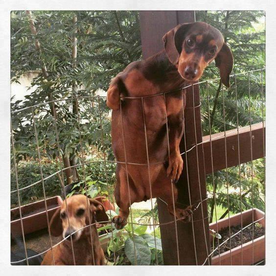 funny-dachshund-fence