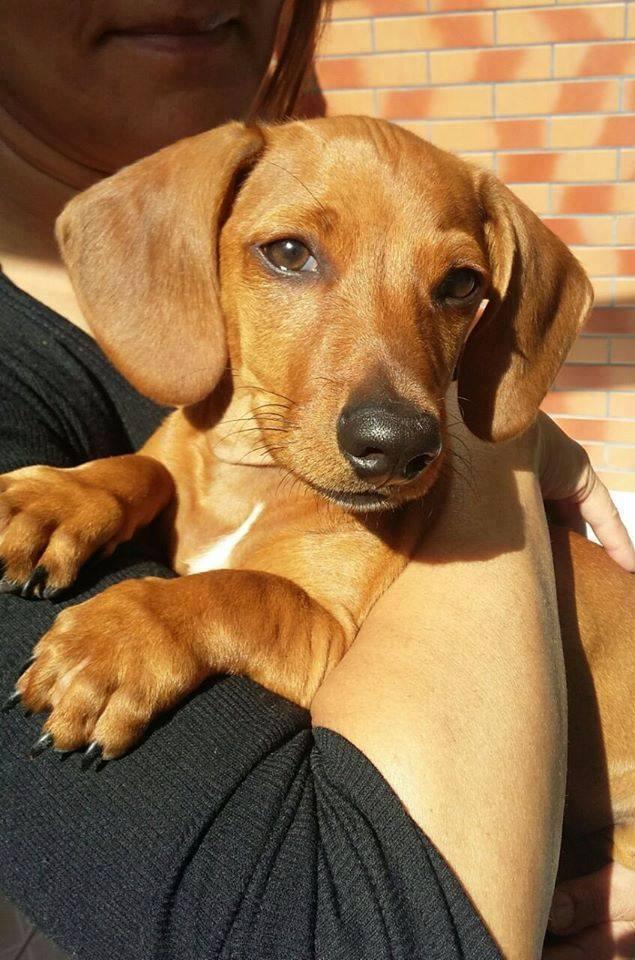 funny-dachshund-fred