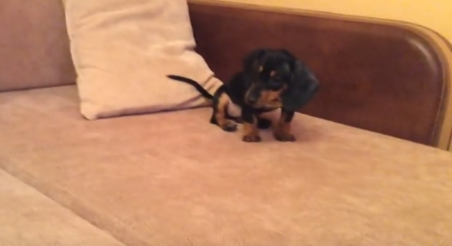 funny-dachshund-pup