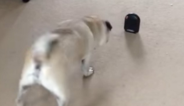 funny-pug-dog-playing