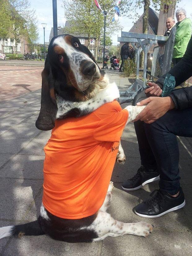 funny-sitting-basset-hound