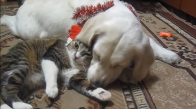 golden-retriever-cat-play-friends