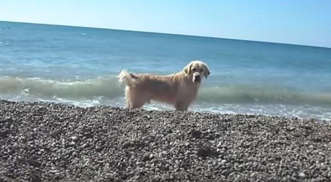 golden-retriever-dog-beach-sunny