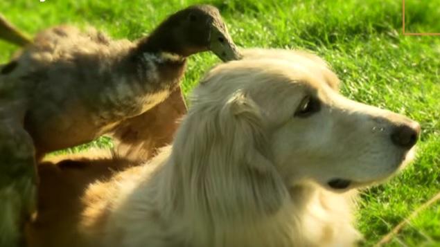 golden-retriever-dog-duck