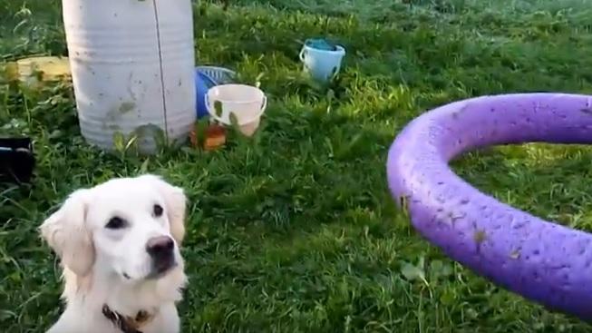 golden-retriever-dogs-playing