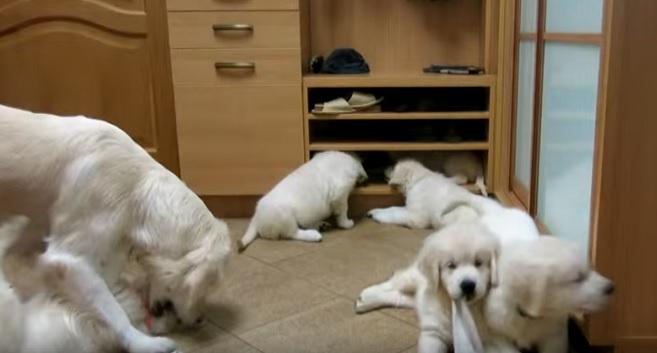 golden-retriever-family-pups