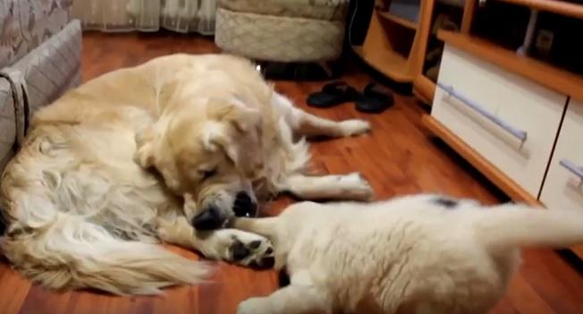 golden-retriever-playful-family
