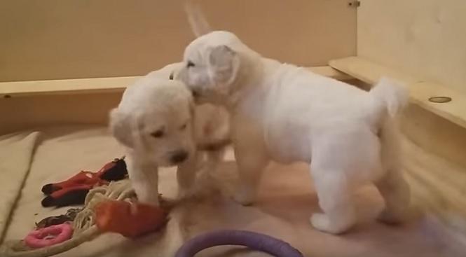 golden-retriever-pups-dogs