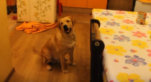 labrador-begging-food-dog