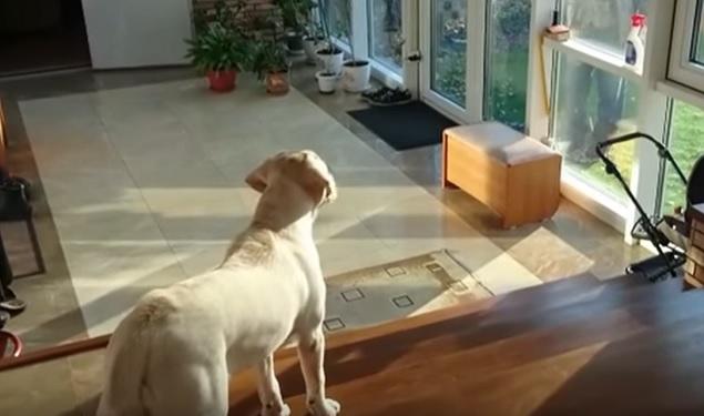labrador-dog-owner-meet