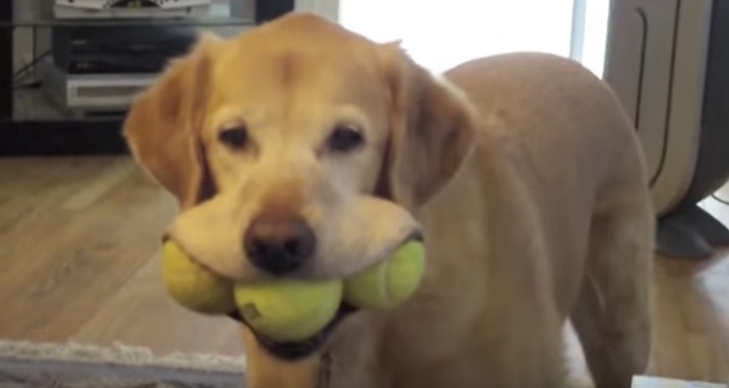 labrador-retriever-with-balls