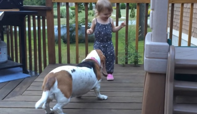 playful-basset-girl-dog