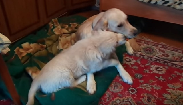 playful-dogs-goldens